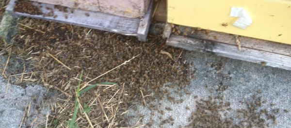 Neonicotinoid Bee Poisonings - An example of a colony lost to neonics
