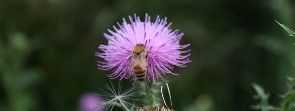 bee on a purple plant
